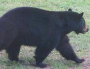 38 pitét falt fel a besurranó medve
