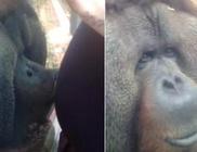 Megpuszilta az orángután a várandós nő hasát