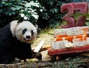 37 éves lett a világ legidősebb pandája