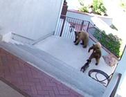 A kis bulldog kergette el a két medvét