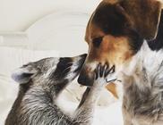 Kutyákkal nőtt fel, kutyának képzeli magát a megmentett mósómedve