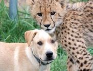 Elválaszthatatlan barátok a kis gepárd és a kutyus