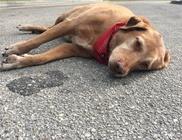 Órákig feküdt a baleset helyszínén a kutyus, ahol halálra gázolták gazdiját