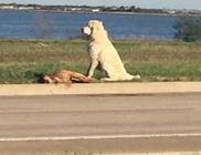 Órákon át őrizte elgázolt barátját a hűséges kutyus