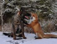 A róka és a kutyus különleges barátsága