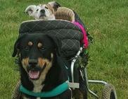 A kerekesszékes kutyus mindennap sétálni viszi vak pajtását