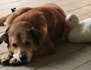 Egy kacsa vigasztalta meg a társát gyászoló kutyust